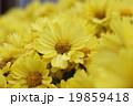 菊・満開公園の花 19859418
