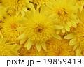 菊・満開公園の花 19859419