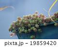 金平糖のような植物 19859420