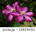 クレマチス キンポウゲ科 落葉つる性多年草の写真 19859481