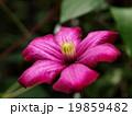 クレマチス キンポウゲ科 落葉つる性多年草の写真 19859482
