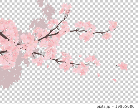 cherry blossom  cherry tree  sakura stock illustration  19865686  pixta cherry blossom vector black and white cherry blossom vector png