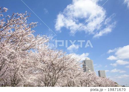 桜 19871670