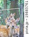 鹿 子鹿 二ホンジカの写真 19883761