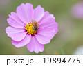 コスモス 花 蜜蜂の写真 19894775