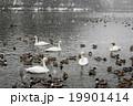 雪降る中の白鳥 19901414