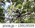 タイ国の森に生息する野生のダスキールトン 19919509