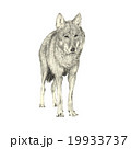 Wolf illustration front view pencil drawing 19933737