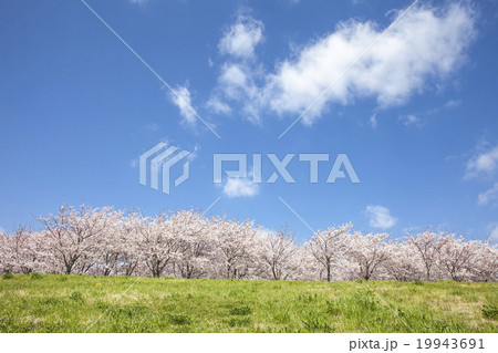 桜 19943691