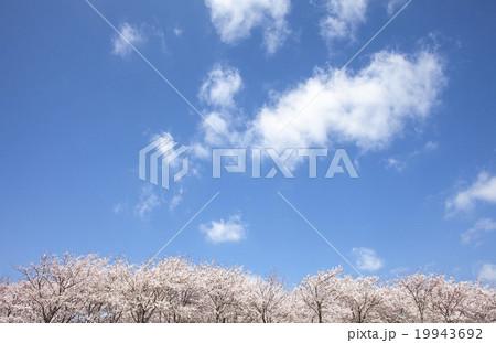 桜 19943692