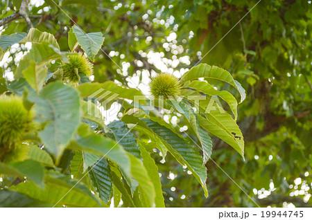 まだ緑色の栗 成長過程 19944745
