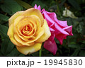 Yellow and Pink Roses 19945830