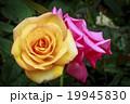 薔薇 桃色 黄色いの写真 19945830