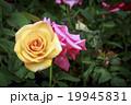 薔薇 桃色 黄色いの写真 19945831