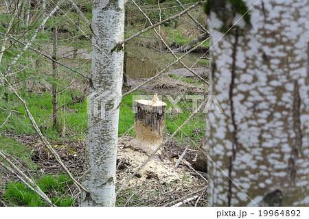 ビーバーに齧られた木 19964892