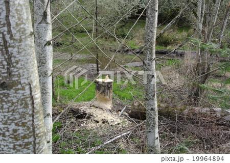 ビーバーに齧られた木 19964894