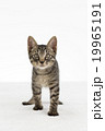 猫 19965191