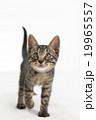 上を見て歩く猫 19965557