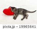 クッションにもたれて眠る猫 19965641