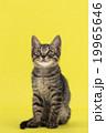 上を見る猫 19965646