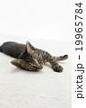 寝転んだ猫 19965784