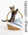 かごから身を乗り出す猫 19965861