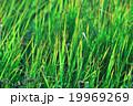 草 テクスチャー グリーンの写真 19969269