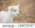 かわいい仔ヤギちゃん 19973597