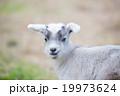 かわいい仔ヤギちゃん 19973624