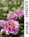 牡丹 花 植物の写真 19982475