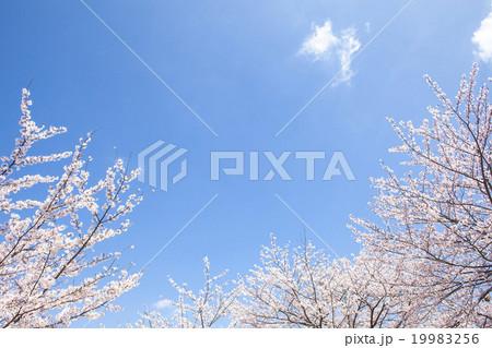 桜 19983256