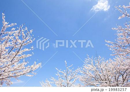 桜 19983257