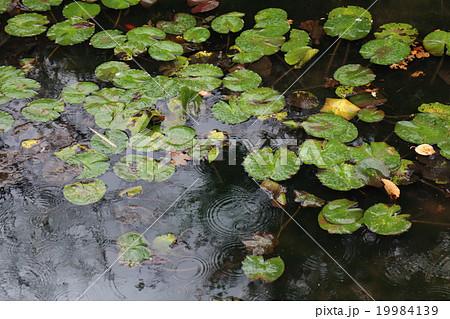 池と蓮の葉 19984139