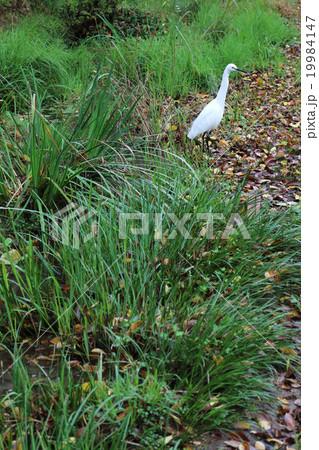 水鳥と水草 19984147