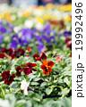 パンジー ビオラ 花の写真 19992496