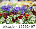 パンジー ビオラ 花の写真 19992497