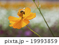 蜂 ハチ 蜜蜂の写真 19993859