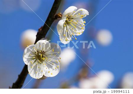 うめ 春告草 ソシンロウバイ 19994111