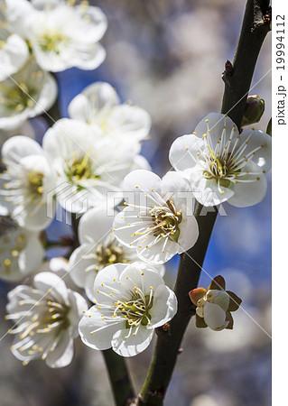 うめ 春告草 ソシンロウバイ 19994112