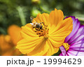 在波斯菊上採蜜的蜜蜂 19994629