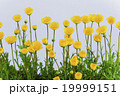 クレサンセマムムルチコーレの花 19999151