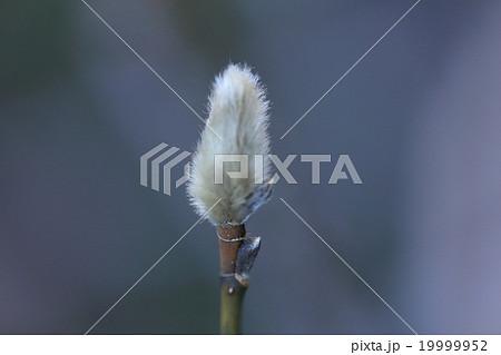自然 植物 コブシ、冬芽です。先端の大きい芽は花芽で枝から出ている小さい芽は葉芽です 19999952