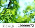 色鮮やかな新緑の葉 19999972