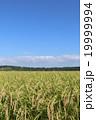 秋晴れ 田んぼ 稲の写真 19999994