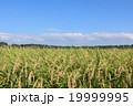 秋晴れ 田んぼ 稲の写真 19999995