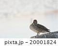 鳥 野鳥 オナガガモの写真 20001824