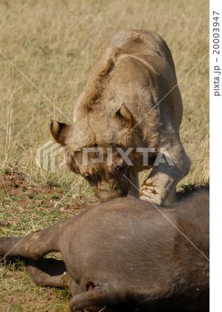 ライオン 20003947