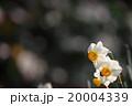 水仙 20004339