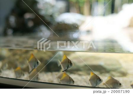 ヒメツバメウオ(サケのふるさと 千歳水族館) 20007190