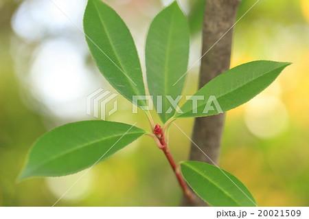 自然 植物 カナメモチ、材を扇の要に使うモチノキに似た木という意味のようです 20021509